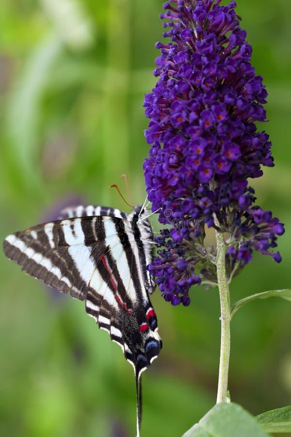 Gestreepte Vlinder Swallowtail royalty-vrije stock fotografie