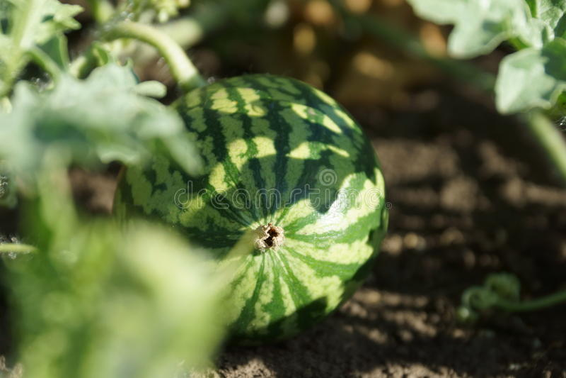 Gestreepte watermeloen stock afbeelding