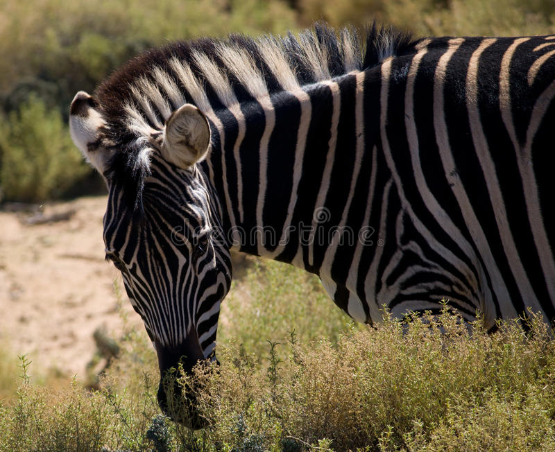 Gestreepte Zebra royalty-vrije stock afbeelding