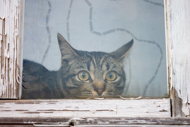 Gestreift, Katze der getigerten Katze, die hinter einem Fenster mit altem weißem Holzrahmen mit der Schale der Farbe sitzt lizenzfreie stockbilder