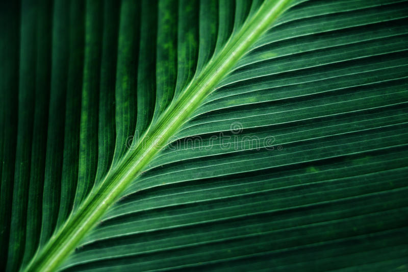Gestreifte Beschaffenheit des grünen Palmblattes, Zusammenfassung des Bananenblattes stockbild