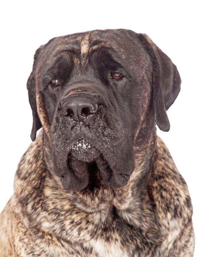 Gestreifte englische Mastiff-Hundenahaufnahme lizenzfreie stockbilder