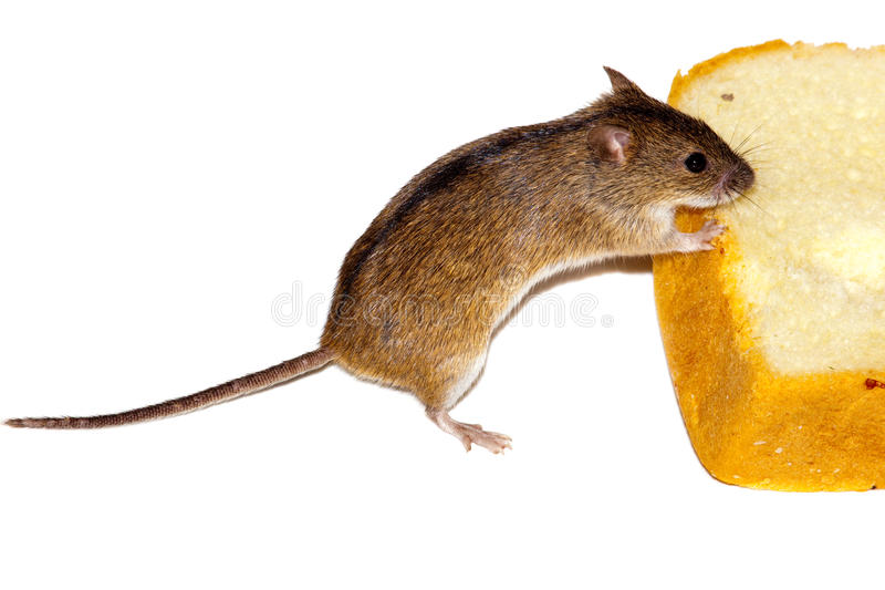 Gestreifte Feld-Maus (Apodemus agrarius). stockfotografie