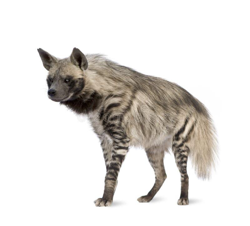 Gestreifte Hyäne - Hyaena hyaena stockfotografie