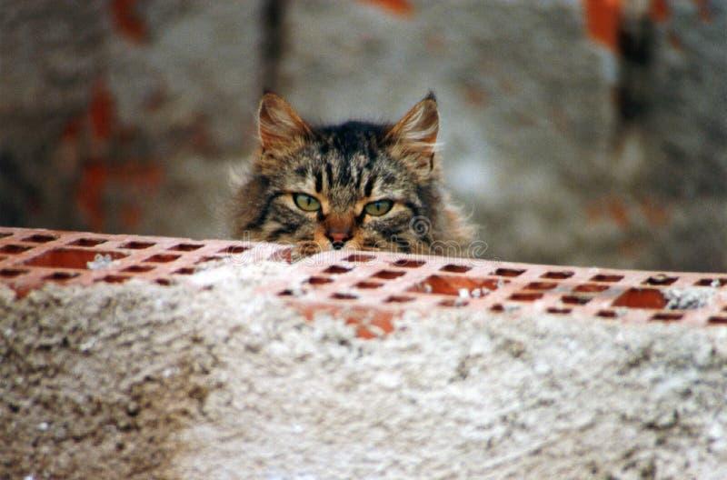 Gestreifte Katze, die sorgfältig hinter einer Backsteinmauer beobachtet lizenzfreie stockfotografie