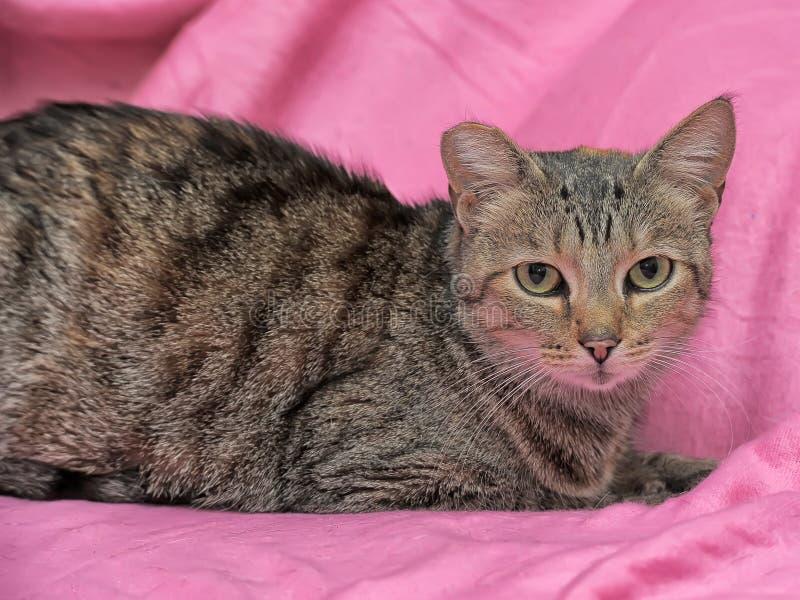 gestreifte Katze mit einem befestigten Ohr lizenzfreie stockbilder