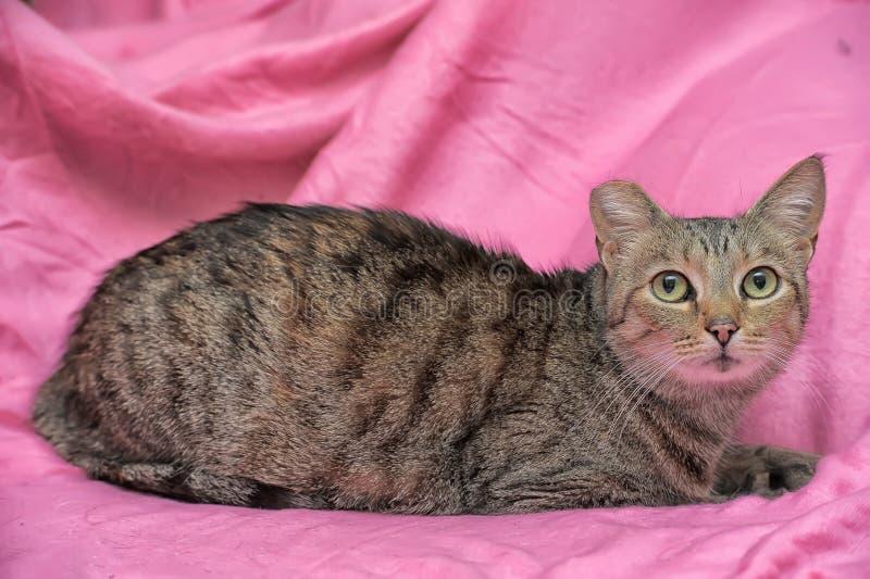gestreifte Katze mit einem befestigten Ohr stockfoto