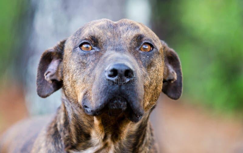 Gestreifte Pit Bull Terrier-Bulldogge stockfotografie