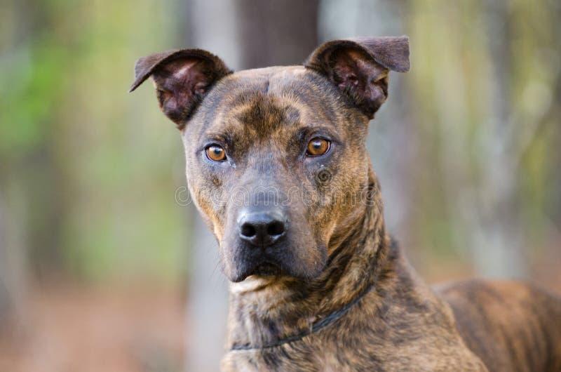 Gestreifte Pit Bull Terrier-Bulldogge lizenzfreie stockbilder
