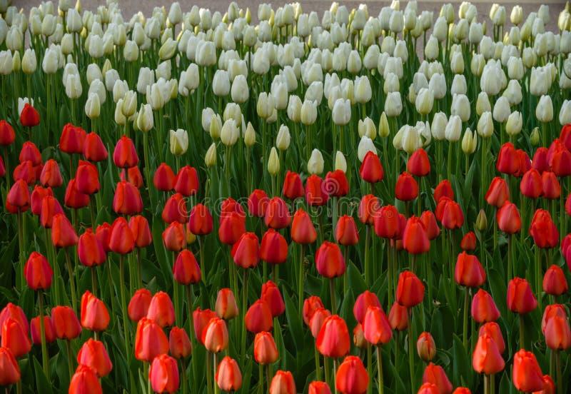 Gestreifte Tulpe mit den roten und weißen Tulpen in einem Blumenbeet lizenzfreie stockbilder