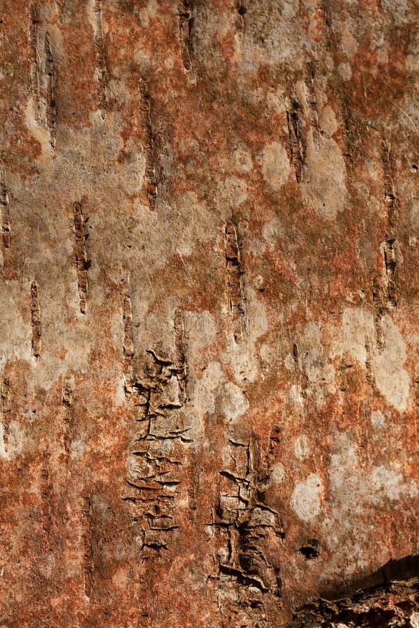 Gestreifte und geknackte, natürliche Schwarzweiss-Beschaffenheit der russischen Birkenrinde lizenzfreies stockfoto