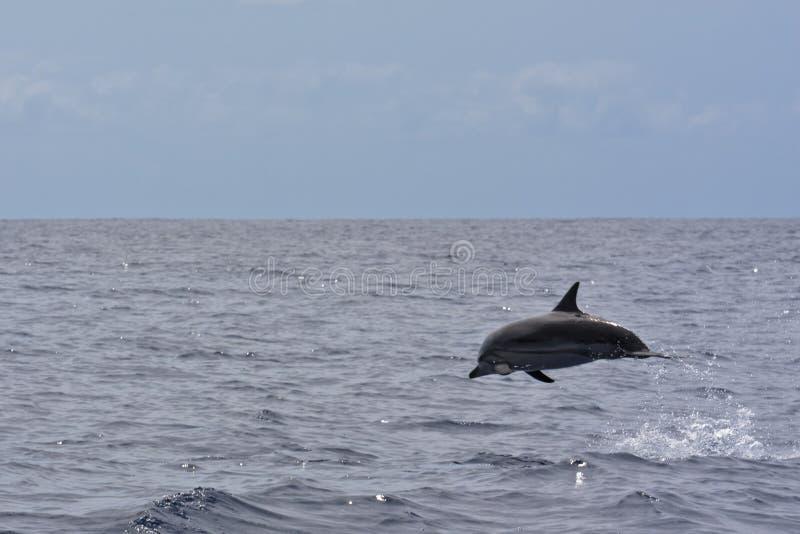 Gestreifter Delphin stockfotos