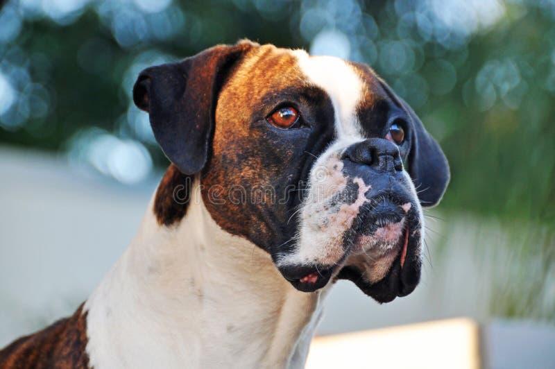 Gestreifter und weißer reinrassiger Boxerhund des Nahaufnahmeporträts stockbilder