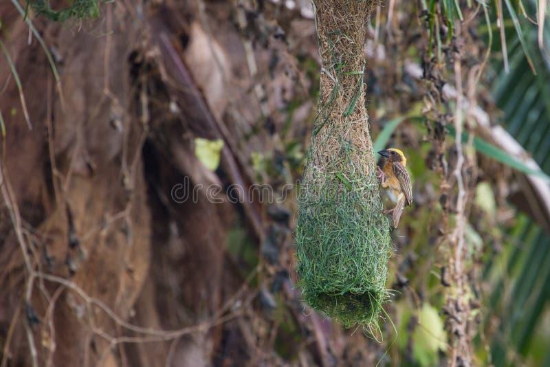 Gestreifter Weaver Ploceus manyar stockbilder