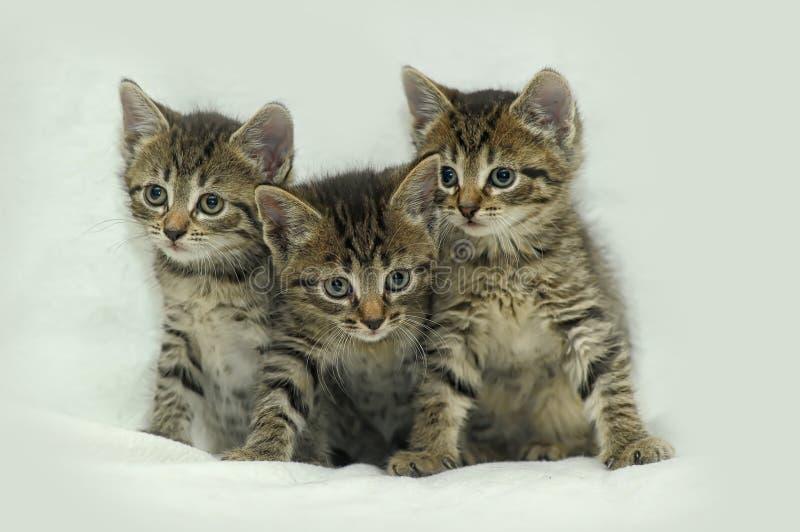 Gestreiftes Kätzchen drei lizenzfreie stockfotografie