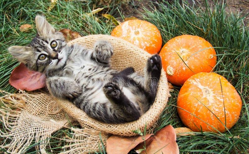 Gestreiftes Kätzchen im Korb Kätzchen mit Kürbisen Autumn Cat lizenzfreies stockbild