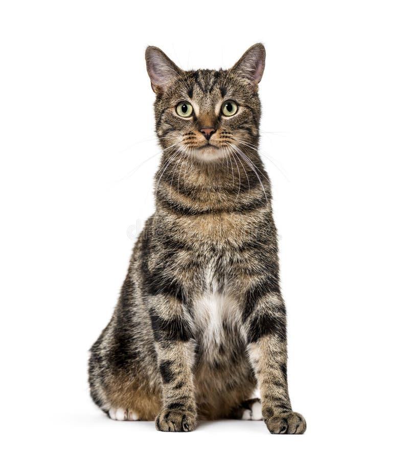 Gestreiftes Misch-zuchtkatzensitzen, lokalisiert auf Weiß, (2 Jahre alt stockfotos