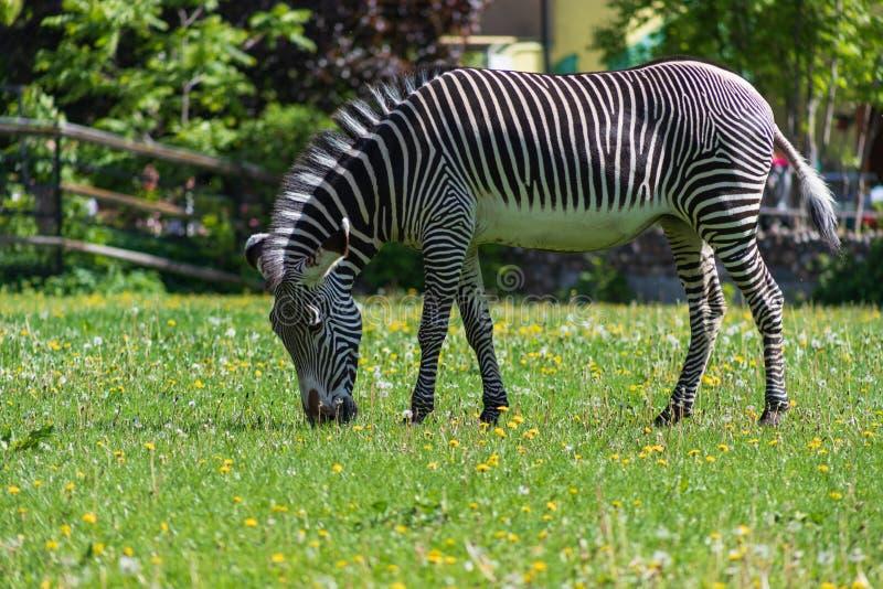 Gestreiftes Schwarzweiss-Zebra, das auf einer grünen Wiese mit Löwenzahn im Moskau-Zoo weiden lässt stockfotografie