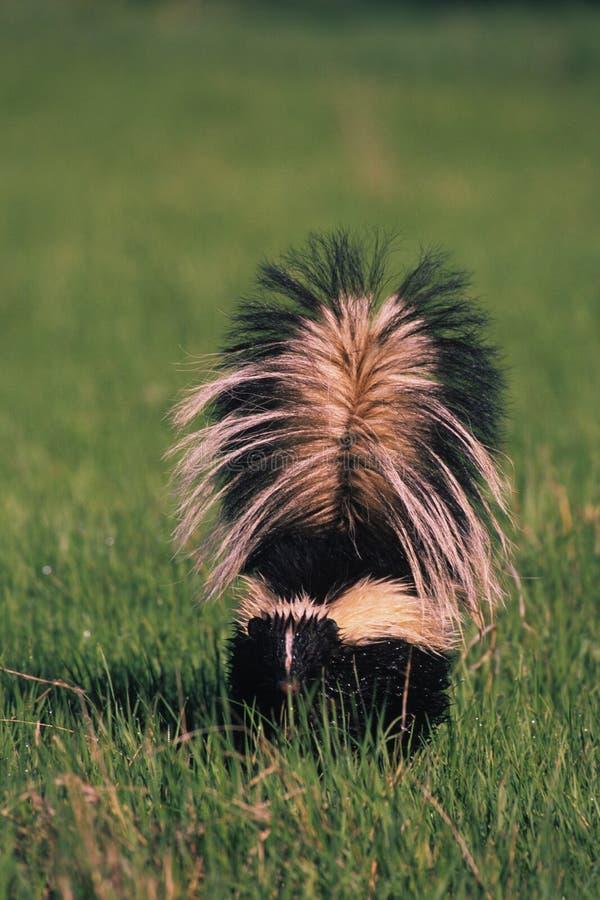 Gestreiftes Stinktier im Gras lizenzfreie stockfotos