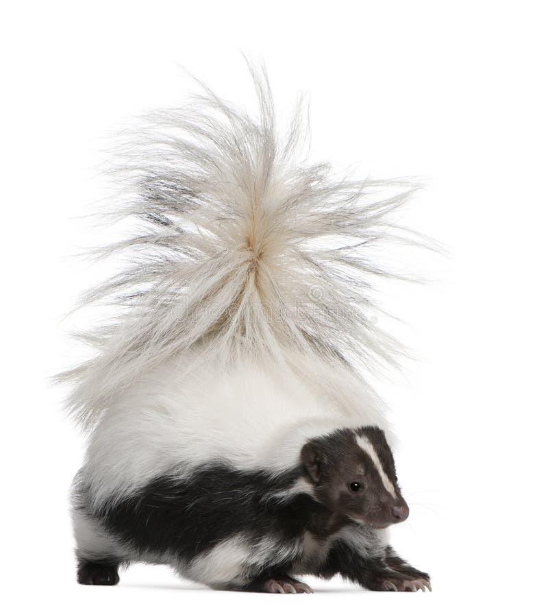 Gestreiftes Stinktier, MephitisMephitis, 5 Jahre alt lizenzfreie stockbilder
