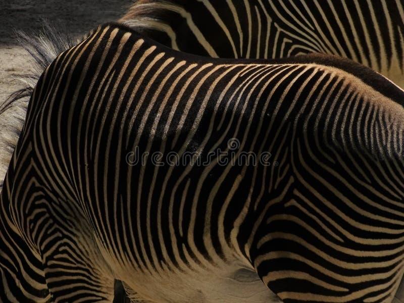 Gestreiftes Zebra, das im Zoo in Augsburg steht lizenzfreies stockfoto