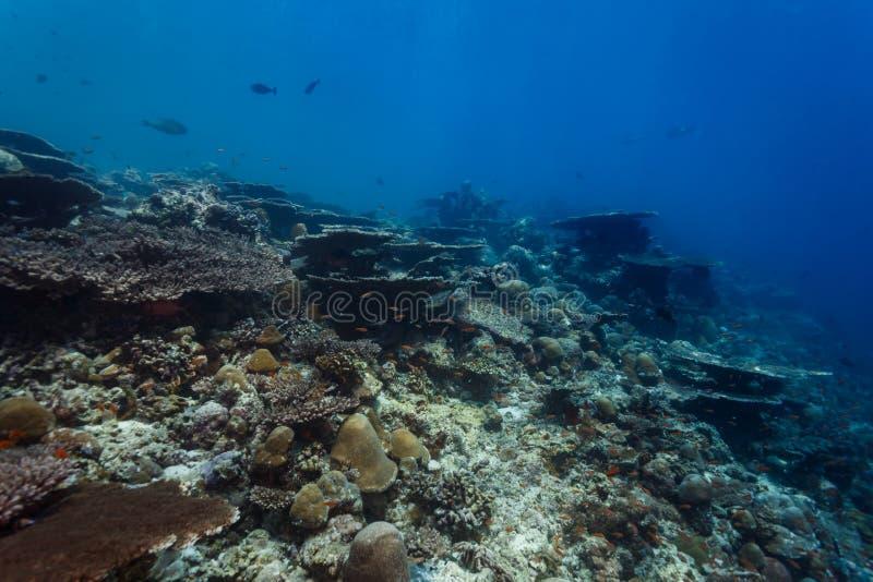 Gesunde korallenrote Wand mit großen Tabellenkorallen, Acropora paniculata und vielen kleinen Fischen stockfotos