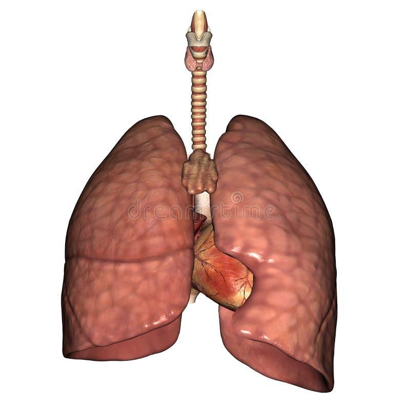 Gesunde Lungen lizenzfreie abbildung