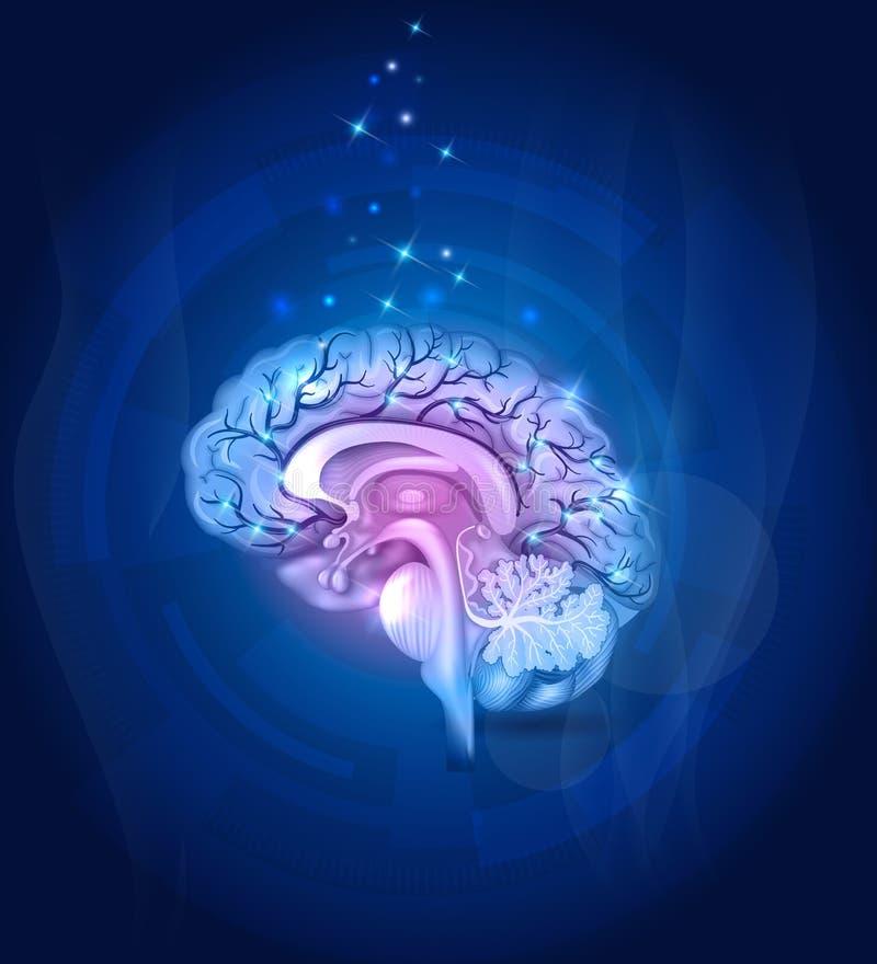 Gesunder Gehirnquerschnitt, Schiffe vektor abbildung