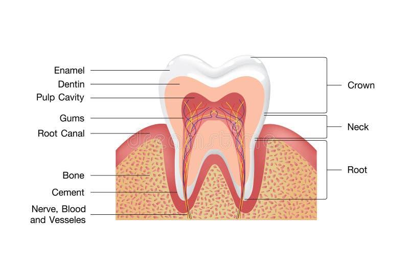 Gesunder wei?er Zahn, Zahnfleisch und Knochenillustration, ausf?hrliche Anatomie Zahnanatomie infographics Realistisches wei?es Z lizenzfreie abbildung