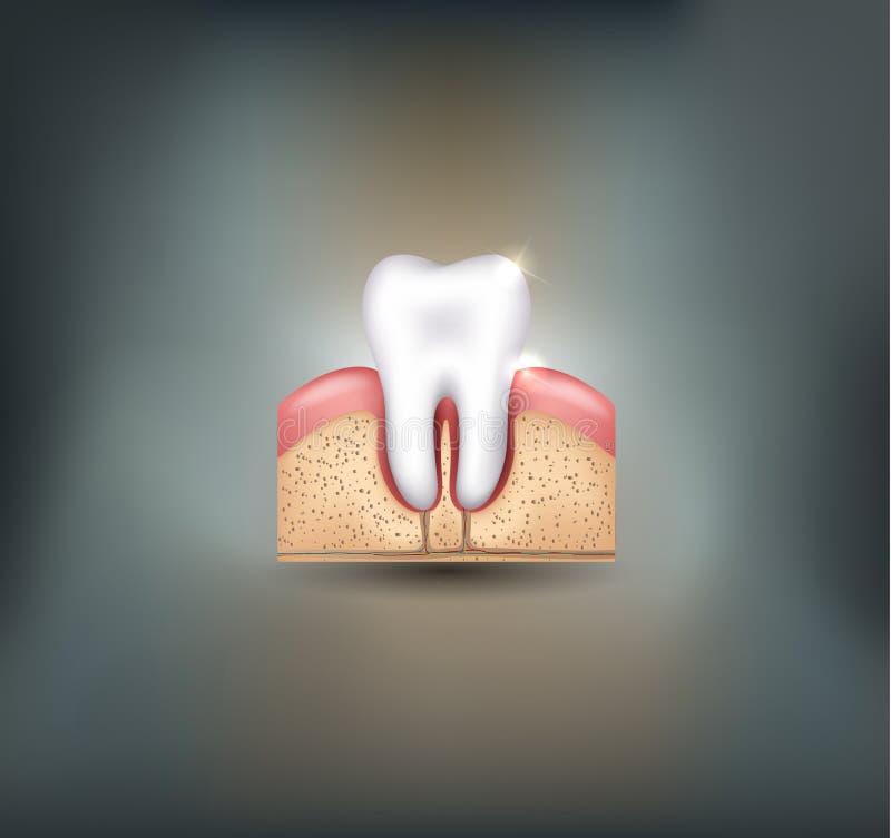 Gesunder Zahn, Zahnfleisch Und Knochen Vektor Abbildung ...