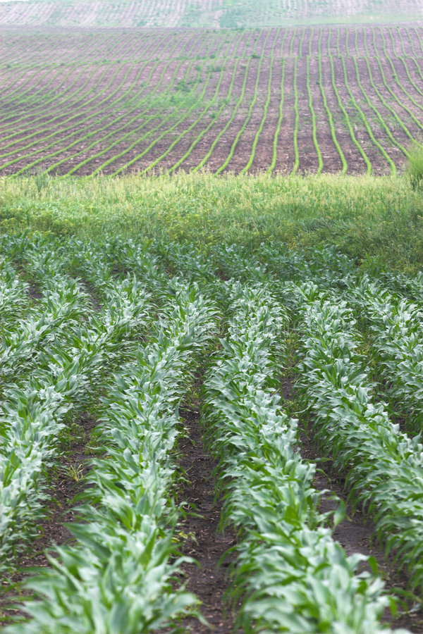 Gesundes Maisgetreide lizenzfreies stockbild