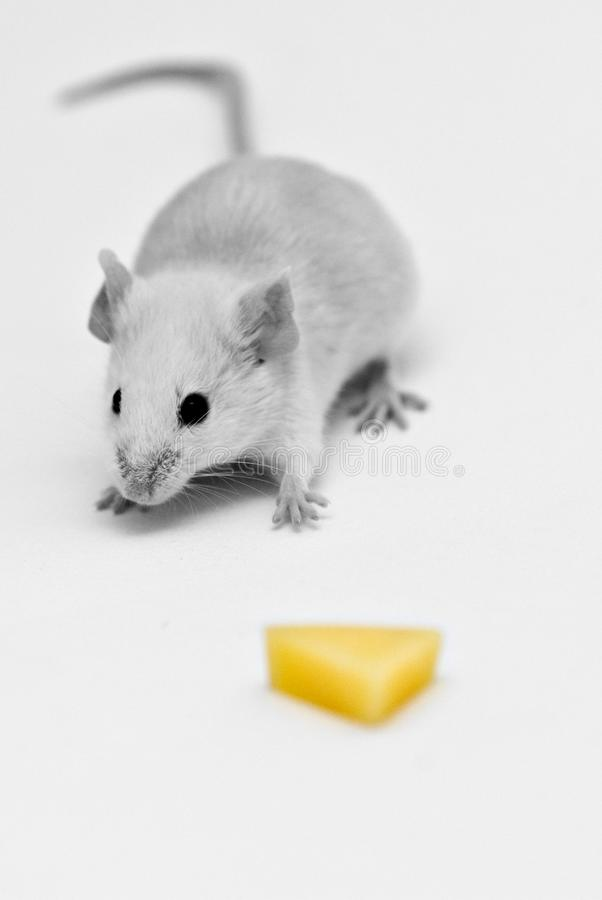 Get that Cheese royalty free stock photo