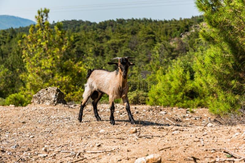 Get i lantliga fält som ser kameran, Rhodes, Grekland royaltyfri fotografi