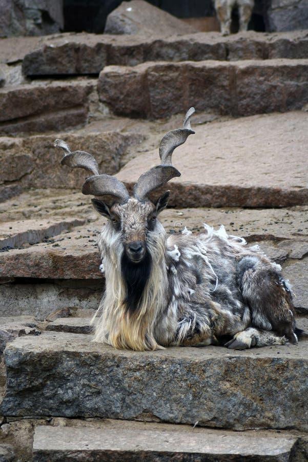 Get med stora hornes, grå stenbakgrund royaltyfri bild