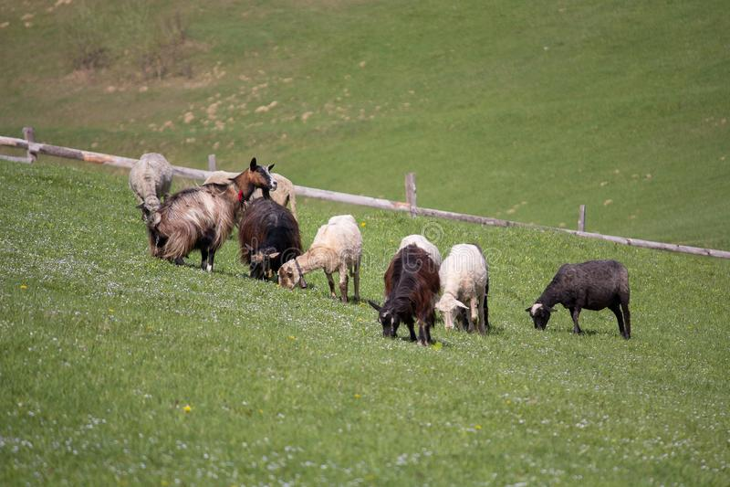 Get- och fårskrubbsåret på berget betar arkivfoto
