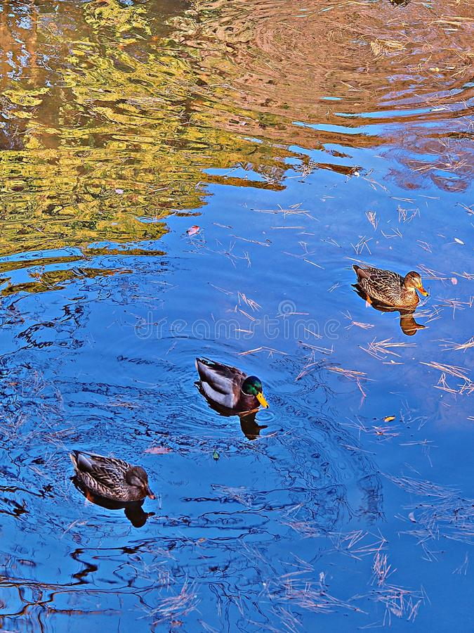 Get your ducks in a row. Concept for common business phrase .. get your ducks in a row. Three ducks swimming in a row with their reflections in a pond, along royalty free stock photography