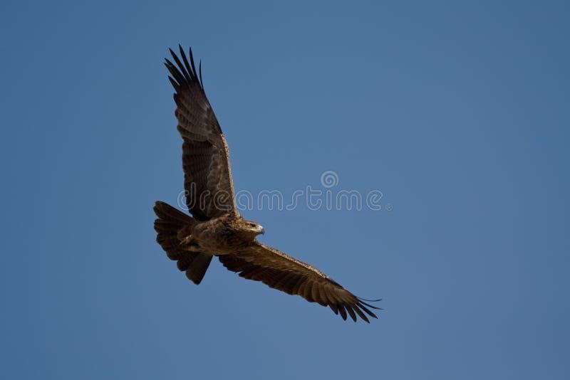 Getaande Adelaar (Aquila rapax) royalty-vrije stock fotografie