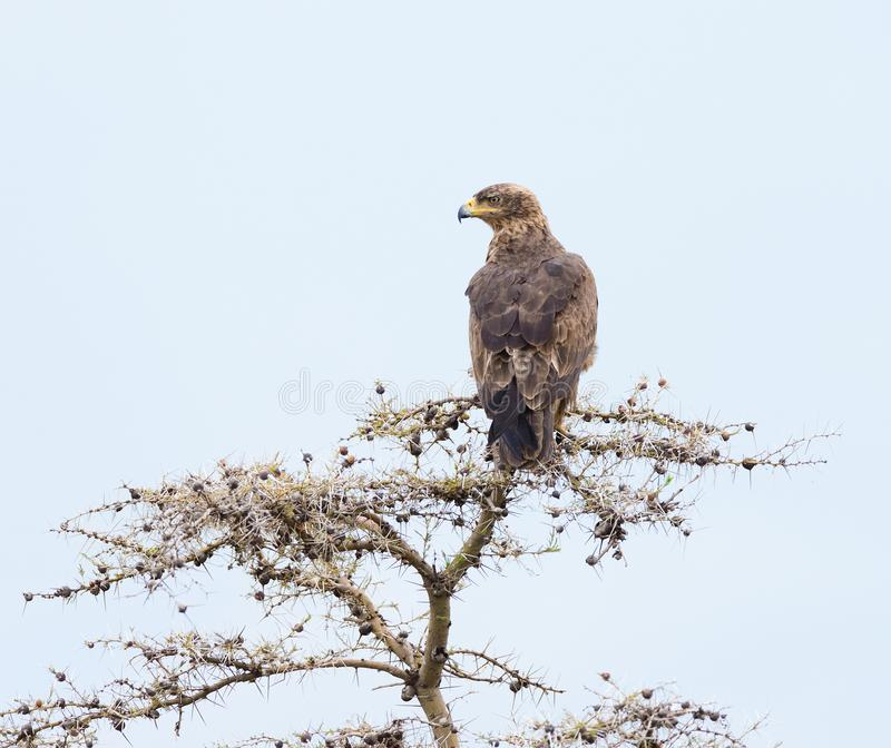 Getaande adelaar Aquila rapax in een boom stock afbeeldingen
