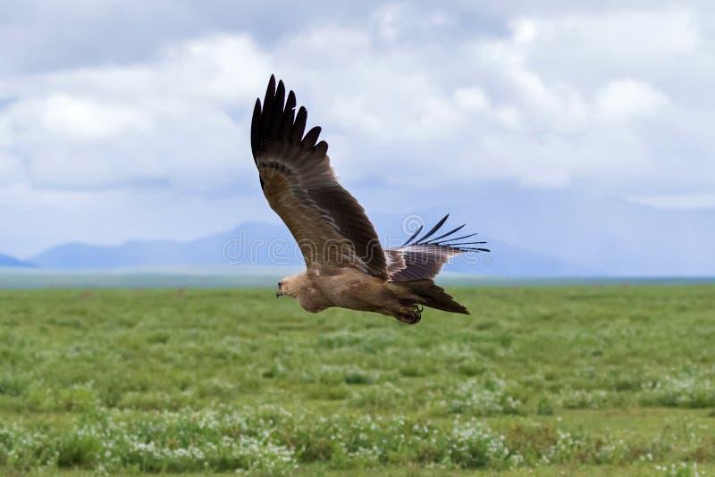 Getaande adelaarsvogel tijdens de vlucht boven groene weide bij het Nationale Park van Serengeti in Tanzania, Afrika stock fotografie