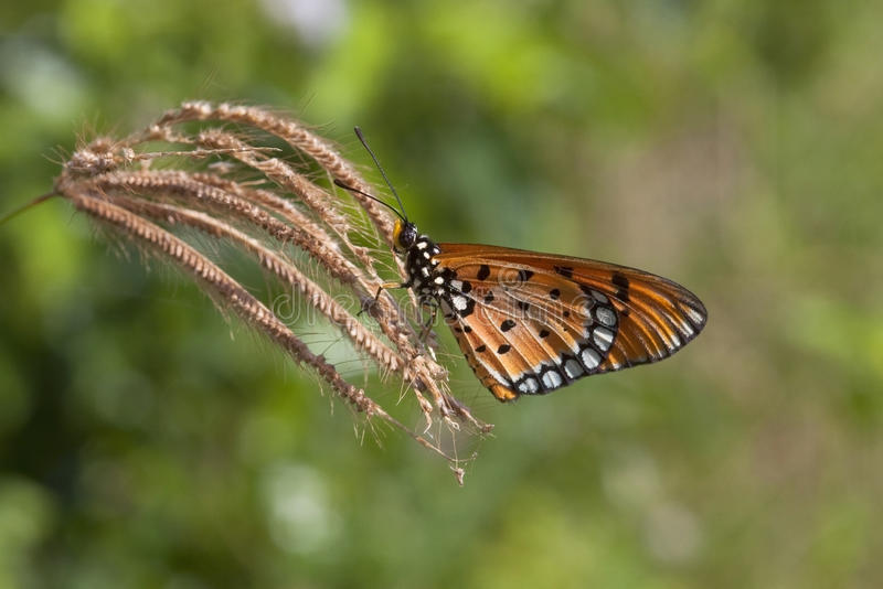 Getaande costervlinder royalty-vrije stock afbeelding