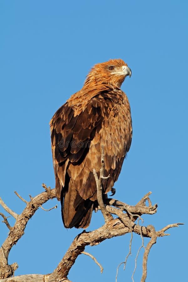 Getaande die adelaar op een boom wordt neergestreken stock fotografie