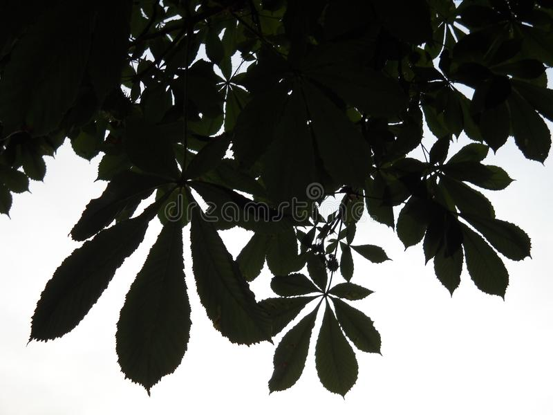 Getande randen van wilde kastanjebladeren stock afbeelding