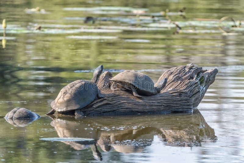 Getande scharnierende moerasschildpadden op een dode boomstomp royalty-vrije stock afbeelding