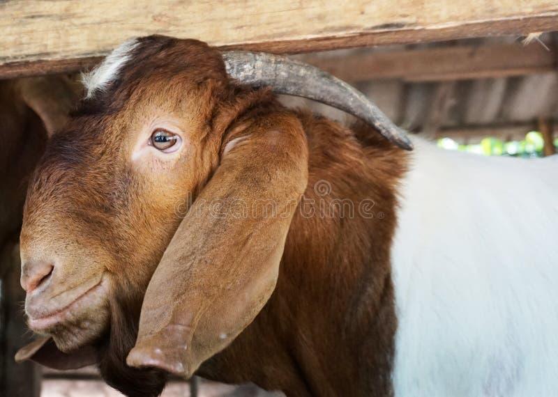 Geten på en stall i det olje- gömma i handflatan kolonier fotografering för bildbyråer