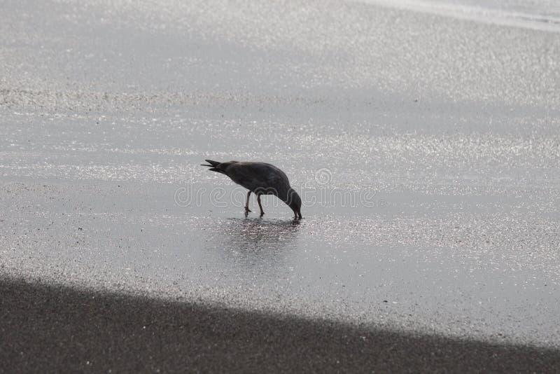 Geten vaggar stranden - nordvästliga Sonoma County, Kalifornien, är munnen av den ryska floden, seagullen, skyddsremsa royaltyfria foton