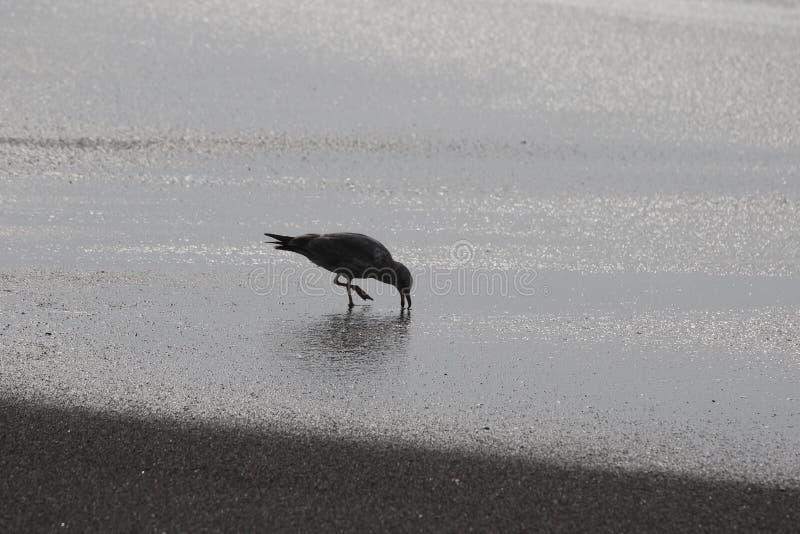 Geten vaggar stranden - nordvästliga Sonoma County, Kalifornien, är munnen av den ryska floden, seagullen, skyddsremsa arkivbild