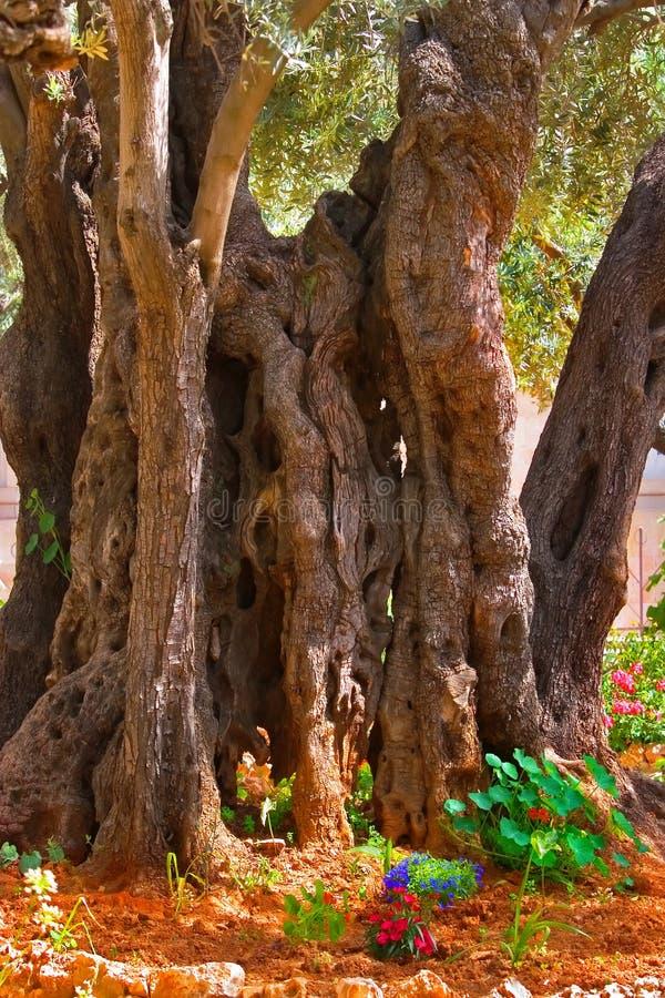 In Gethsemane Garden in Jerusalem. stock images