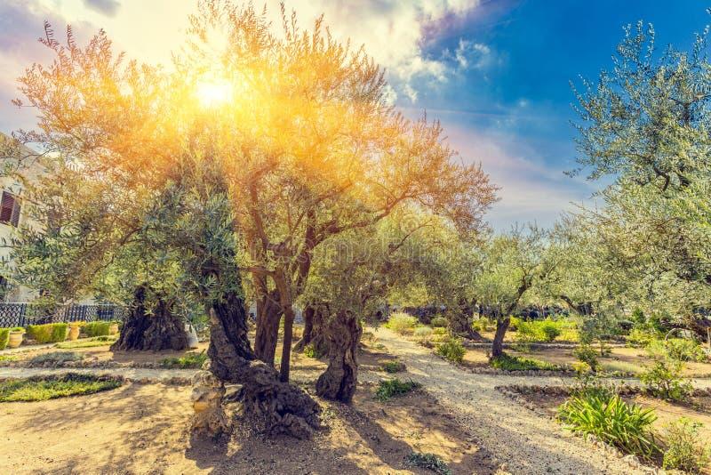 Gethsemane Olive Orchard, Tuin bij de voet die van wordt gevestigd royalty-vrije stock fotografie