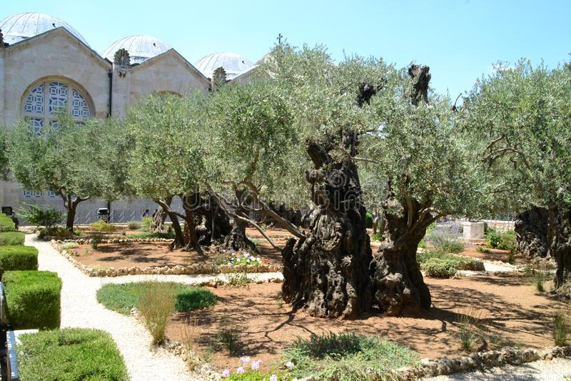 Gethsemane olivfruktträdgård Trädgård av Gethsemane, Jerusalem, Israel arkivbild