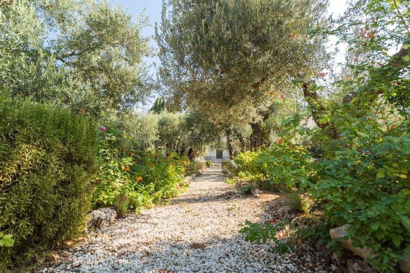 Gethsemane trädgård på Mount of Olives, Jerusalem arkivfoto